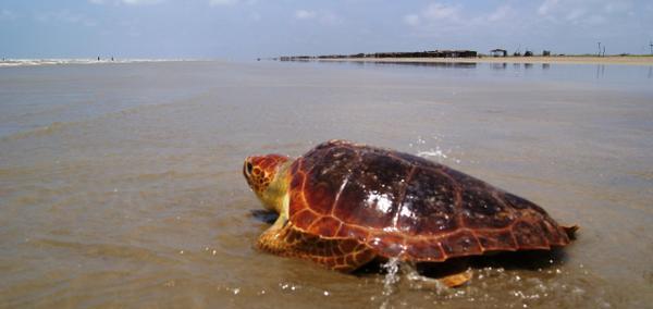Sea Turtle Season 2013