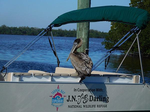 Tarpon Bay pelican